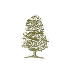 Woodcut junniper tree vector