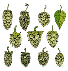 Hops visual graphic vector