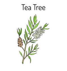 collection of tea tree cosmetics and medical vector image
