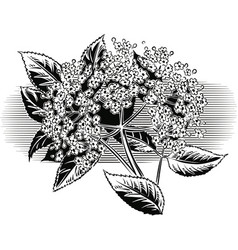 Sprig of blooming elderberry vector
