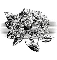 Sprig of blooming elderberry vector