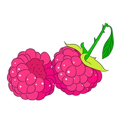 two raspberries on white background of vector image
