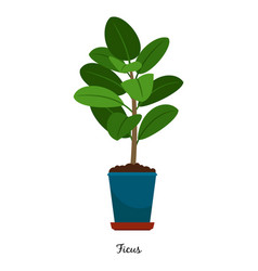 ficus plant in pot vector image