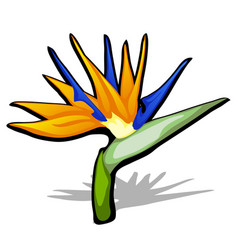 Beautiful bird of paradise flower strelitzia vector