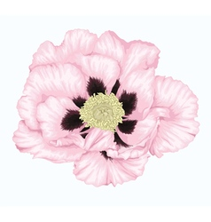 Tree peony white flower isolated on white vector image