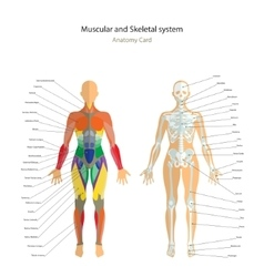 Anatomy guide Female skeleton and muscles map vector