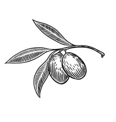 Olive brunch in engraving style design element vector