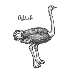 sketch common somali asian ostrich vector image