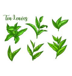 tea leaves sketch green leaf for package vector image