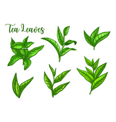 tea leaves sketch green tea leaf for package vector image