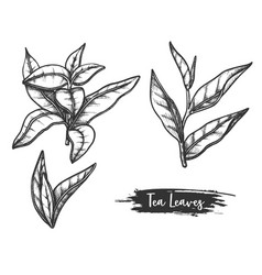 hand drawn ceylon or indian tea leaves twig stem vector image