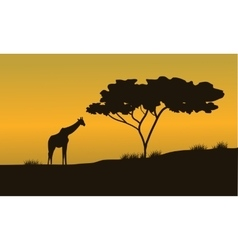 Silhouettes of Giraffes and trees on Safari vector