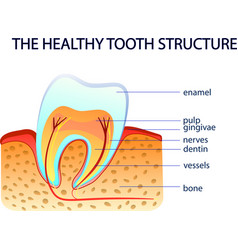 Healthy tooth structure vector