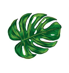 Hand drawn monstera deliciosa tropical leaf vector
