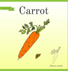 Carrots series of vegetables and ingredients for vector