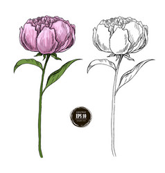 Beautiful peony colored and black and white hand vector