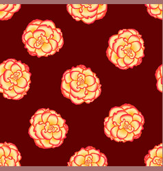 begonia flower picotee sunburst on red background vector image