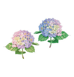 Beautiful gentle hydrangea flowers isolated vector