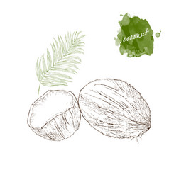 coconut half coconut and palm leaf on white vector image
