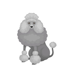 Cute poodle sitting isolated on white background vector