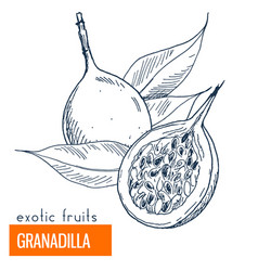 granadilla hand drawn vector image