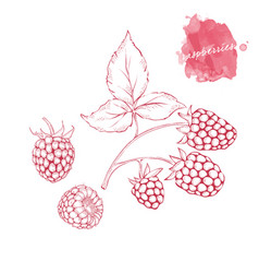 Ripe raspberries on a branch with leaves hand vector