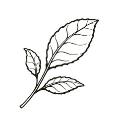 three leaves tea or mint hand drawn sketch vector image