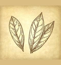 Bay leaves ink sketch vector