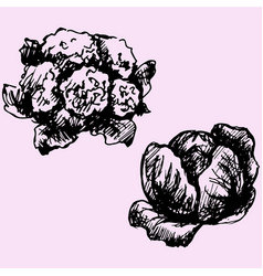 cauliflower and cabbage vector image
