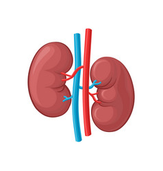 left and right kidney human vector image vector image