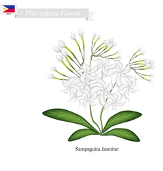Sampaguita Jasmine National Flower of Philippines vector image vector image