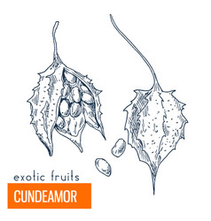 cundeamor hand drawn vector image vector image