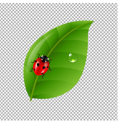 Ladybug with leaf isolated in trasparent vector