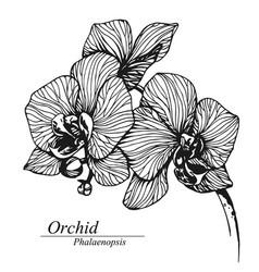 orchid flowers phalaenopsis in blossom vector image