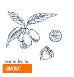 kumquat hand drawn vector image vector image