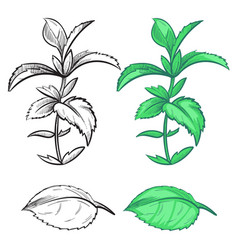 Coloring hand drawn mint plant and leaf with vector