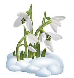 Spring snowdrop flowers on a snow vector image