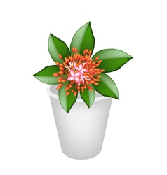 Fresh Red Ixora Flowers in Flower Pot vector image