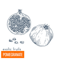 pomegranate hand drawn vector image