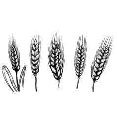 set of hand drawn wheat isolated on white vector image