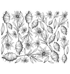 Hand drawn of jerusalem artichoke on white backgro vector