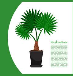 washingtonia plant in pot banner vector image