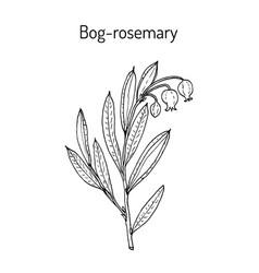 Bog-rosemary andromeda polifolia medicinal plant vector