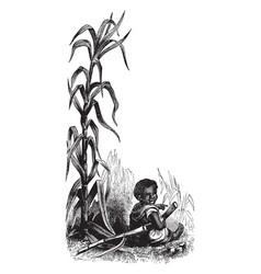 Sugar cane vintage vector