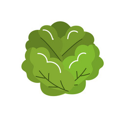 delicious and health lettuce vegetable vector image