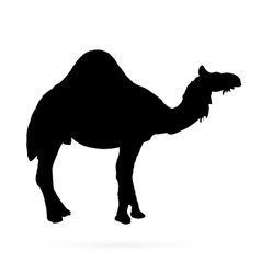 camel silhouettes on the white background vector image vector image