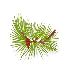 Branch of Christmas tree mountain vector