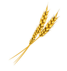 Ear of rye or wheat on white background vector
