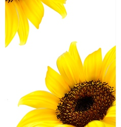 Background with yellow sunflower vector image