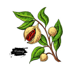 nutmeg plant branch drawing botanical vector image